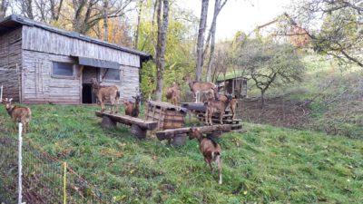 Stall mit Ziegen